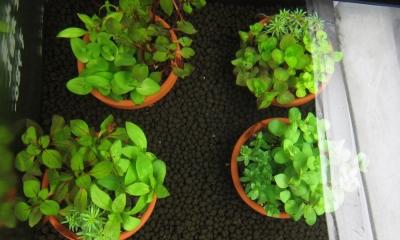 国産有茎水草 3種植え 素焼き鉢