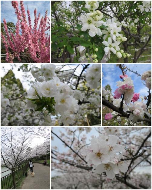 鶴見緑地桜
