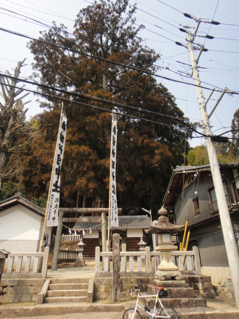 新明神社の大杉