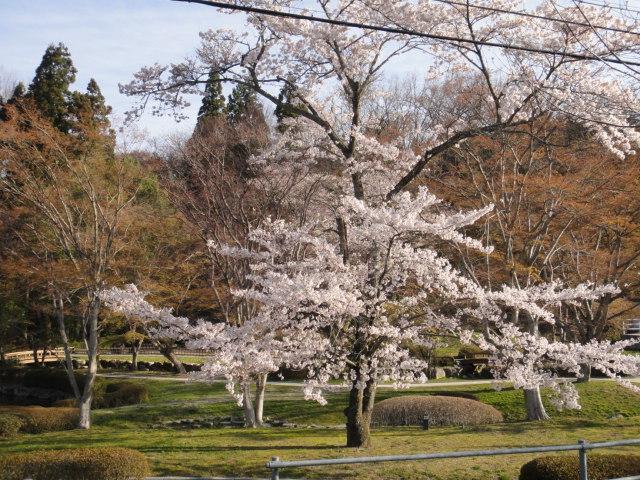 曽木公園の桜