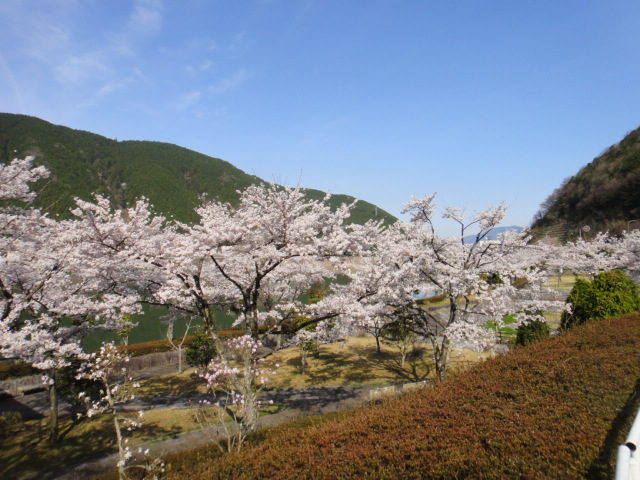 阿木川ダム湖と桜