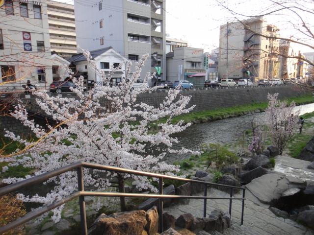 縄手通りの桜