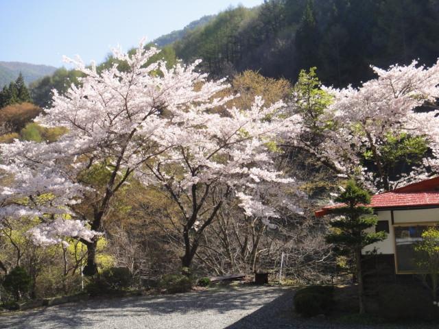 桜は未だ残っている