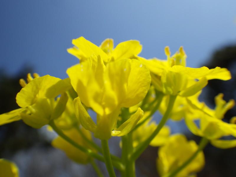 飛鳥 菜の花up3