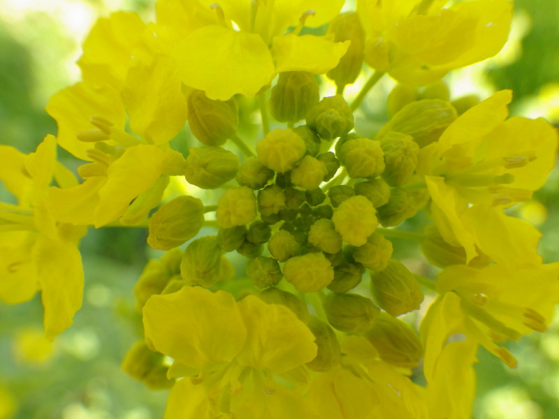 飛鳥 菜の花up1