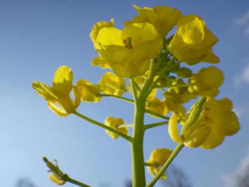 飛鳥 菜の花up