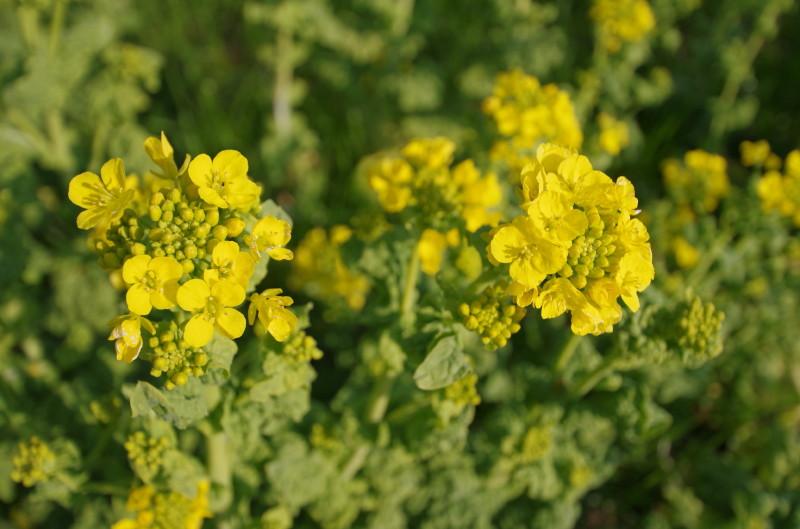 飛鳥 菜の花 甘樫丘