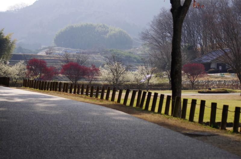 飛鳥 梅 高松塚公園