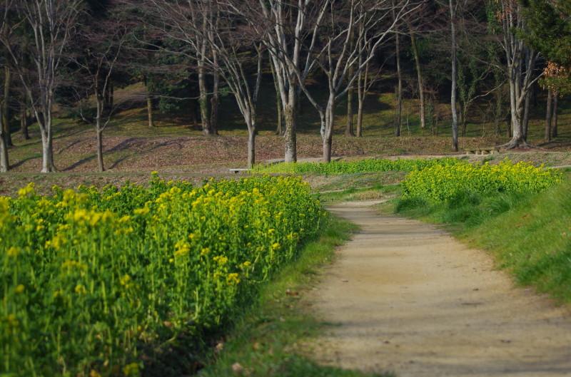 飛鳥 菜の花畑 甘樫丘
