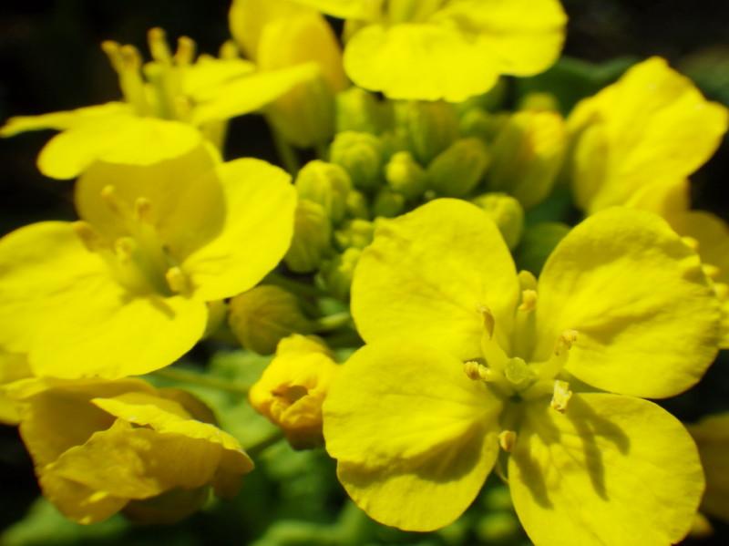 飛鳥 菜の花up4