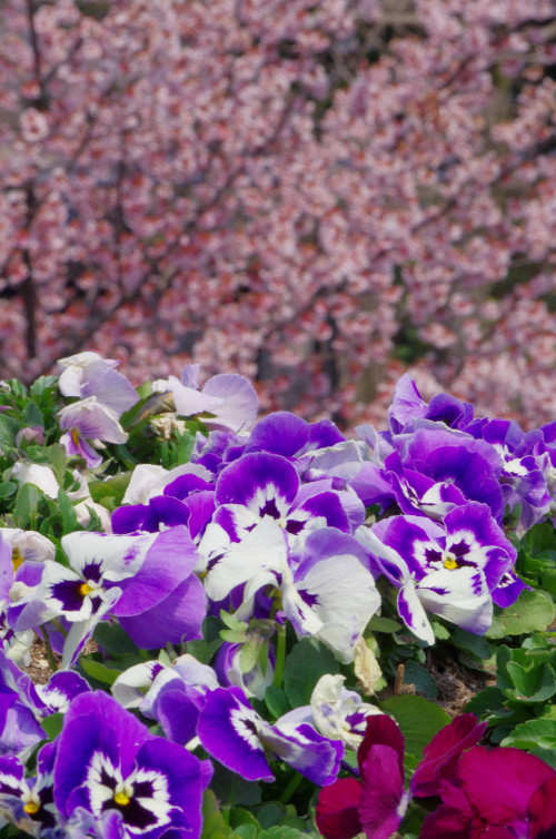 天理 パンジーと桜