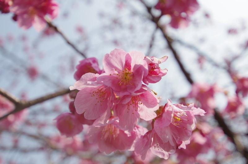 天理 寒緋桜