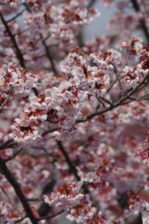 天理 寒桜