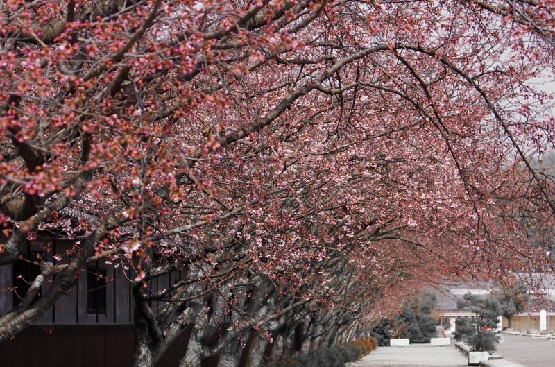 天理 河津桜並木