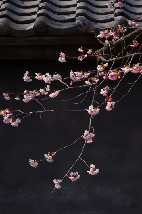 天理 河津桜と黒壁