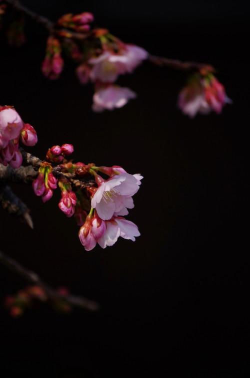天理 河津桜