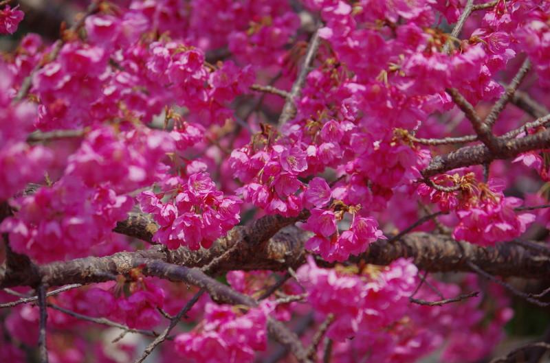天理 緋寒桜