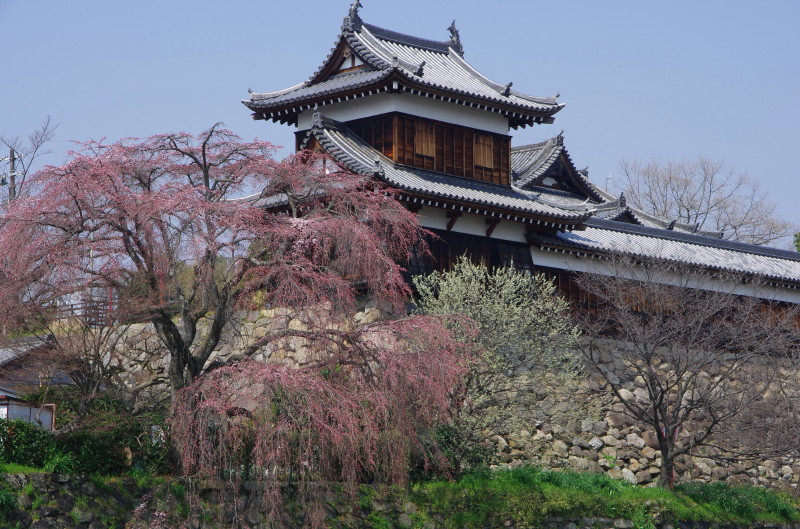 郡山城 桜0