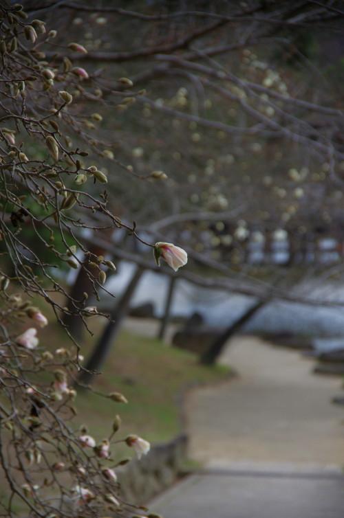 鷺池 コブシ