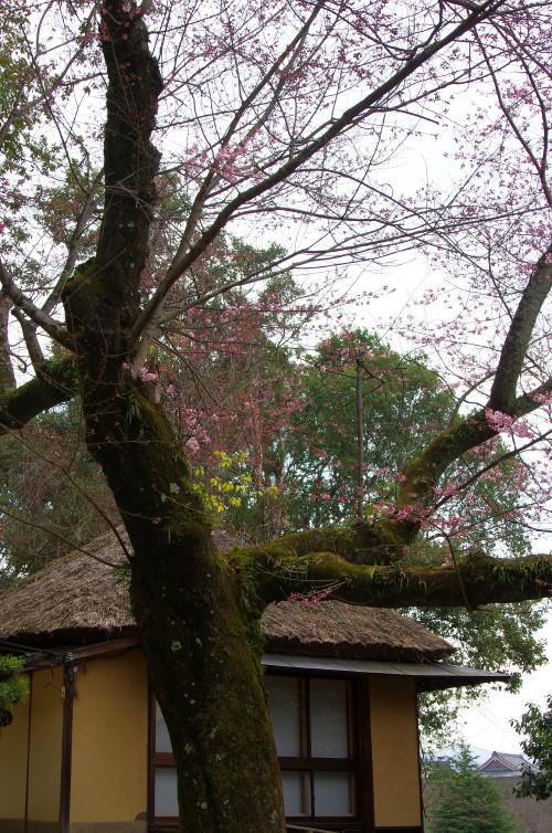江戸三の桜