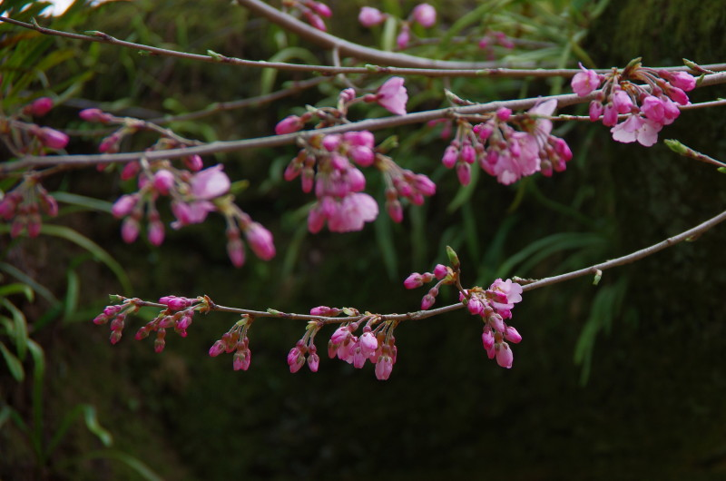 江戸三の桜1