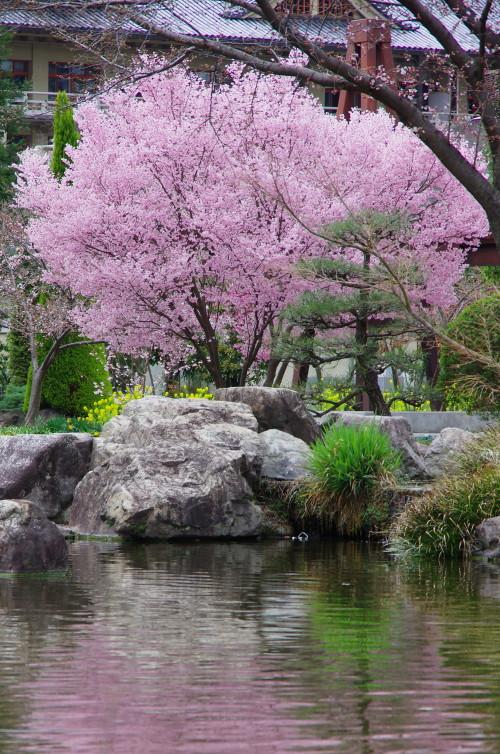 天理 公園の桜