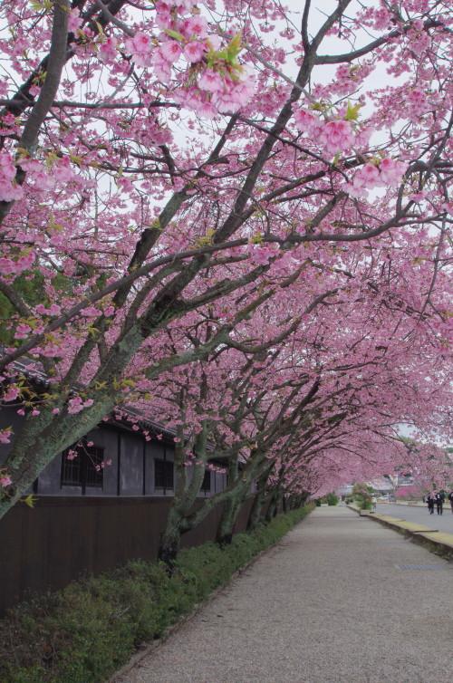 てんり 河津桜