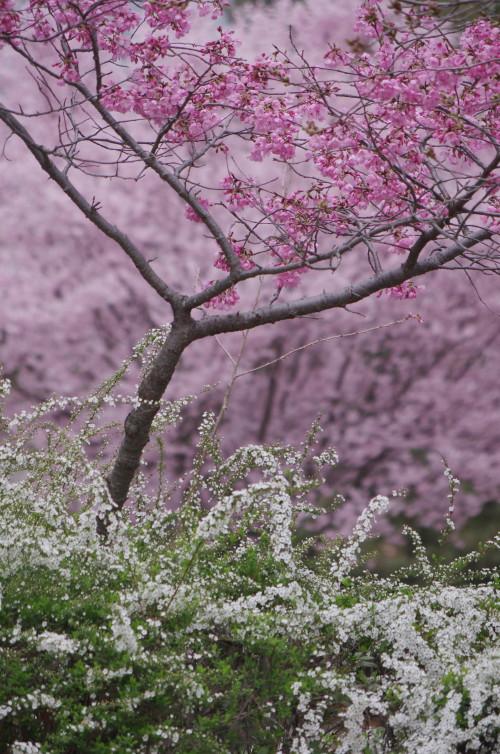 天理 桜とユキヤナギ