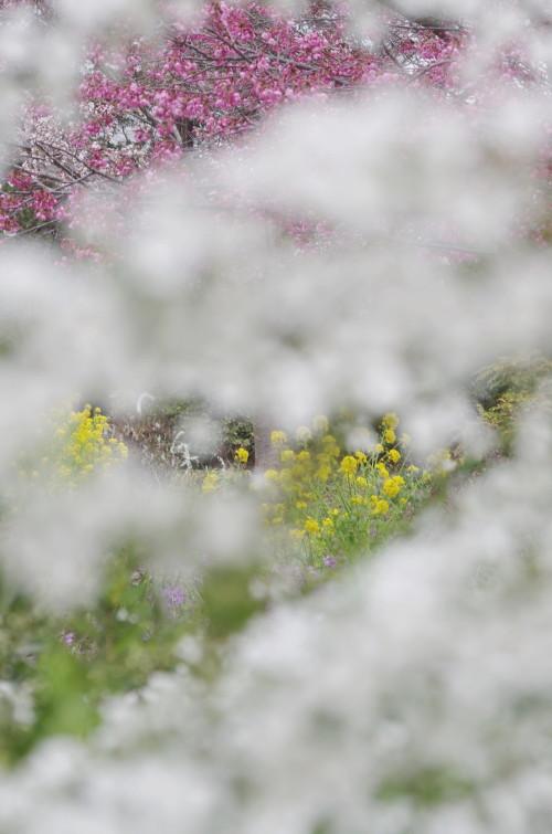 天理 菜の花と桜とユキヤナギ