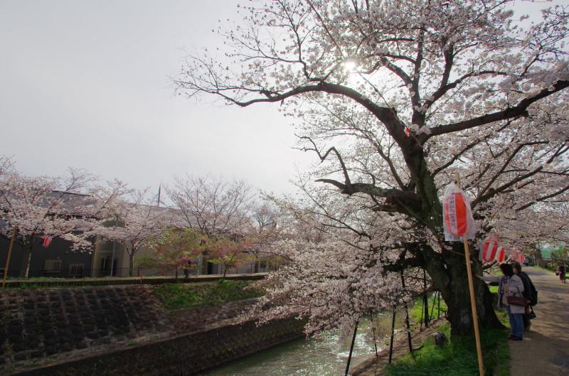 さほ 川路桜