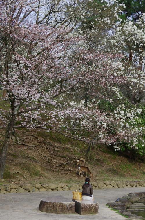 奈良公園 浮見堂のこぶし