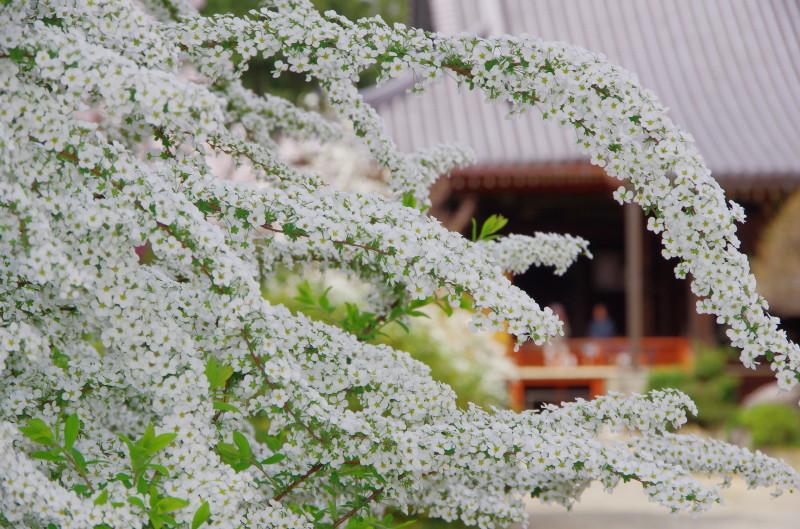 久米寺 ユキヤナギ1