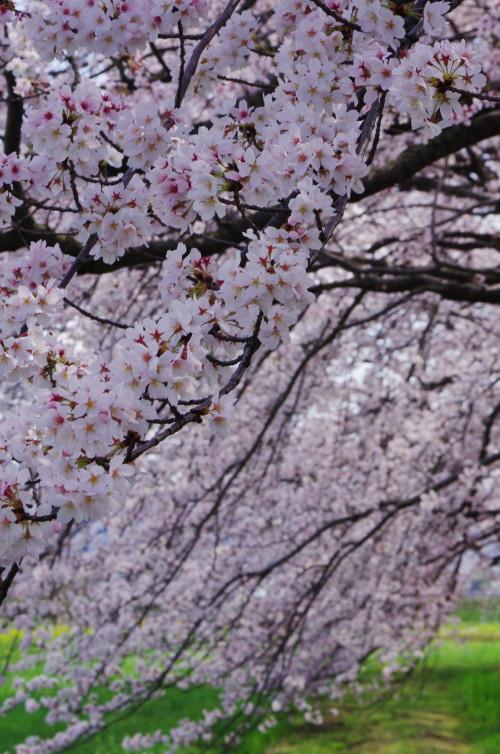 醍醐池 桜のカーテン