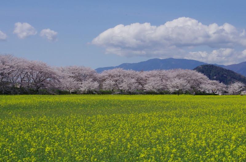 醍醐池 菜の花と山々