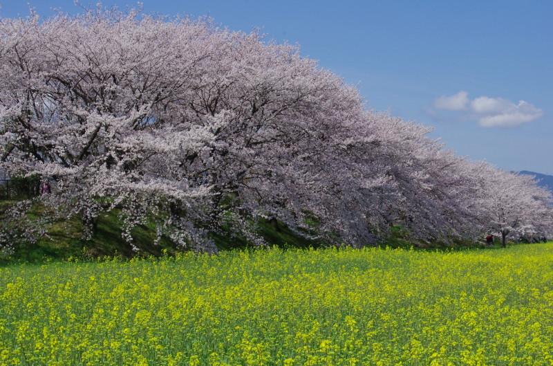 醍醐池菜の花
