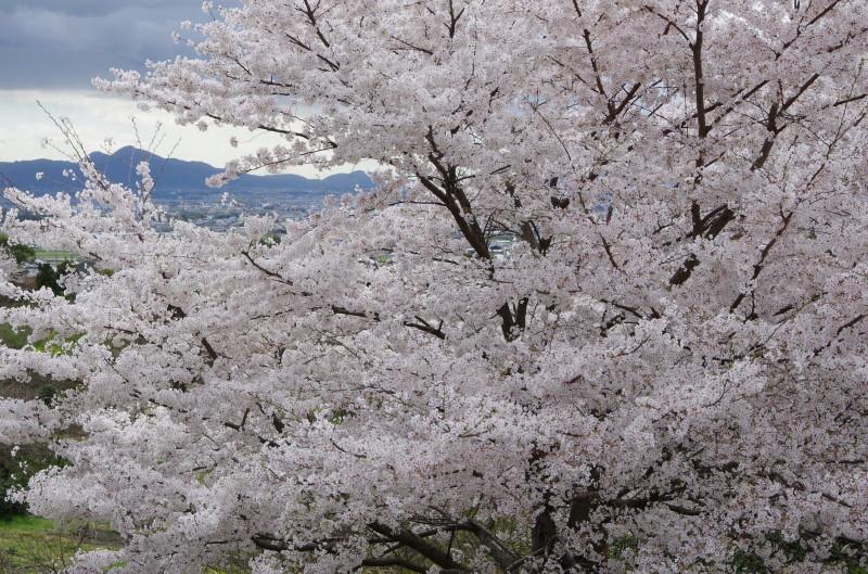 崇仁天皇陵の桜2