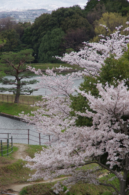 崇仁天皇陵の桜
