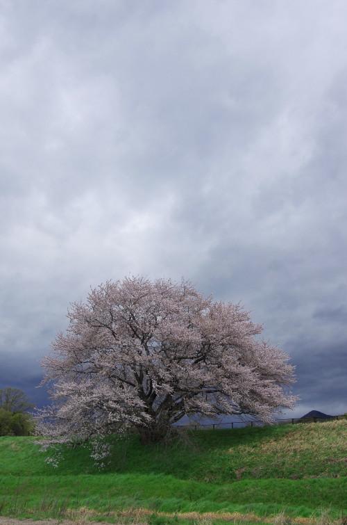 幾坂池の桜1