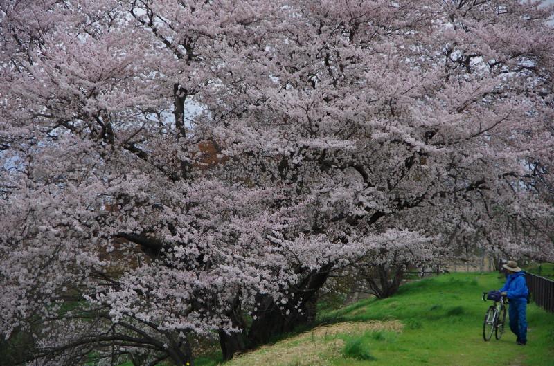 幾坂池の桜 自転車の人