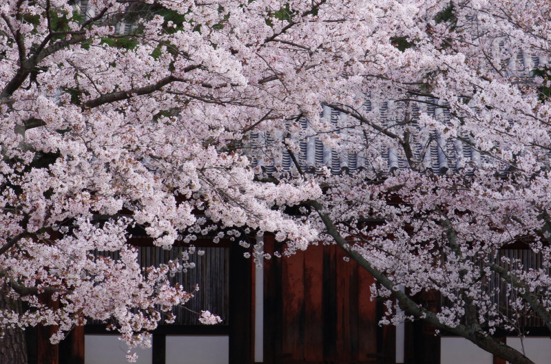 法隆寺 食堂の桜