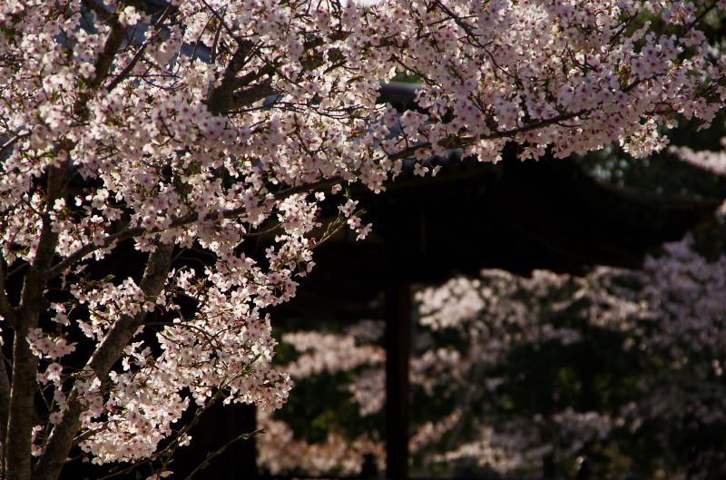 法隆寺 三教院の桜