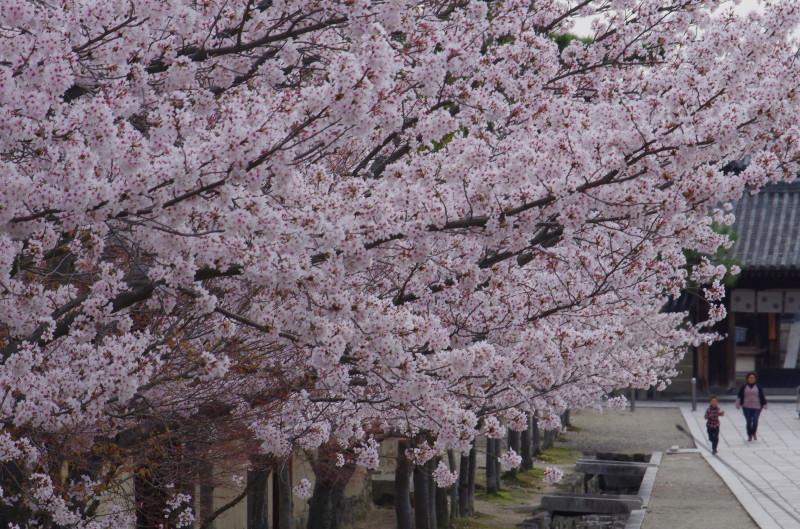 法隆寺 参道の桜0