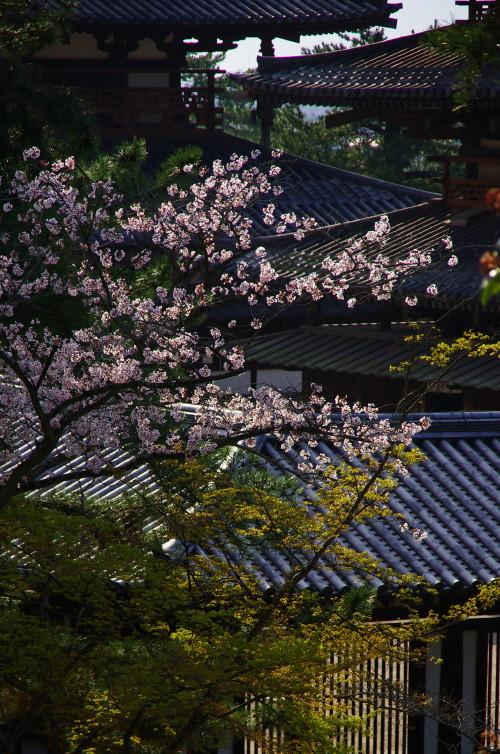 法隆寺 伽藍の桜0