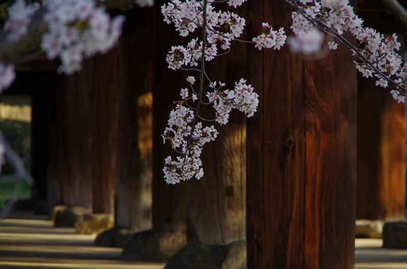 法隆寺 双倉の桜