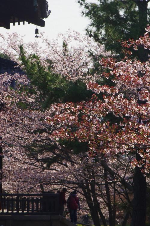 法隆寺 中門の桜1