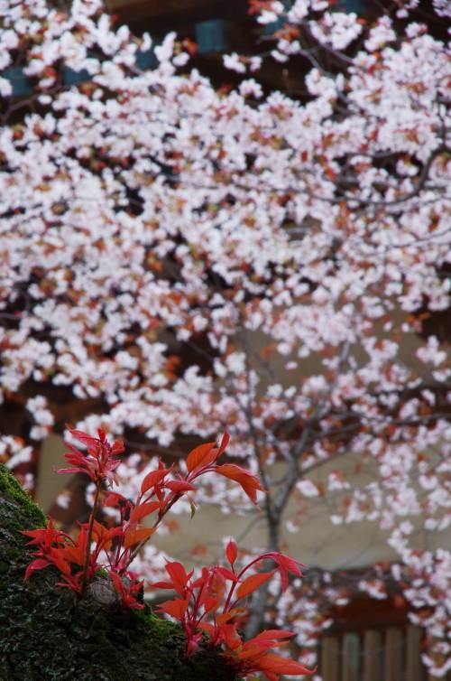 夢殿 葉桜