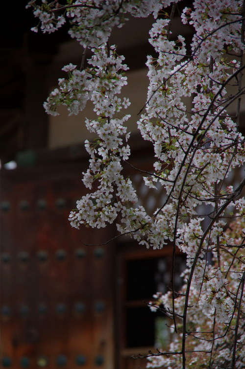 夢殿の枝垂れ1