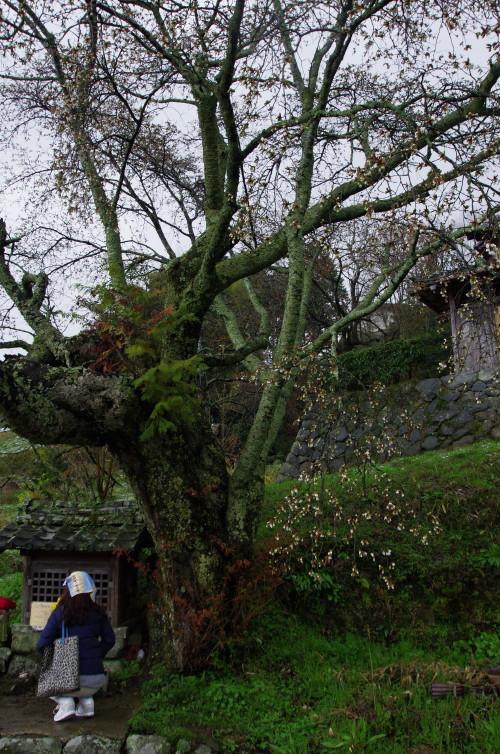 北向地蔵の桜