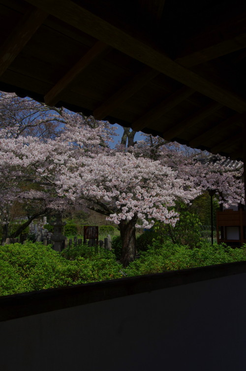 世尊寺 桜2