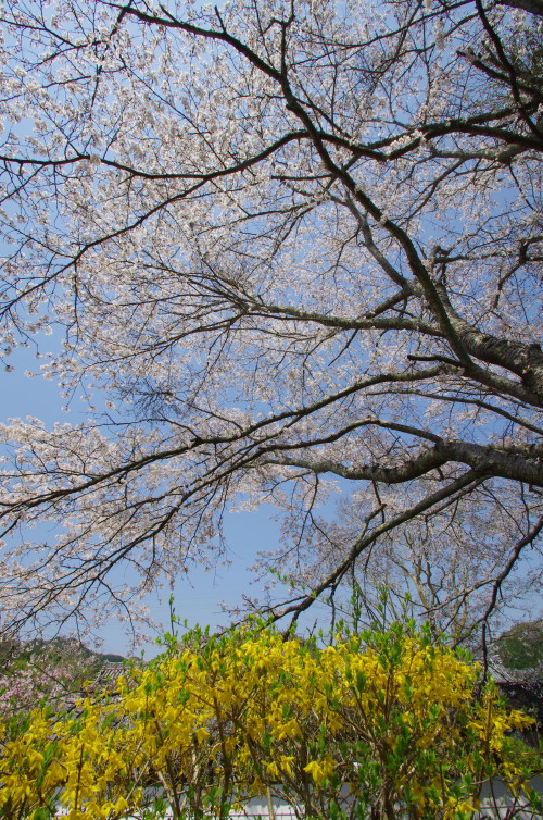 世尊寺 桜